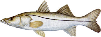 snook-1